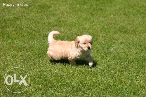 Excellent Golden Retriever Puppiesavailable