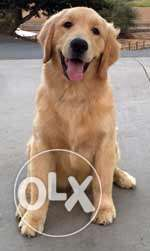 female golden retriever 5 months well trained and has passport
