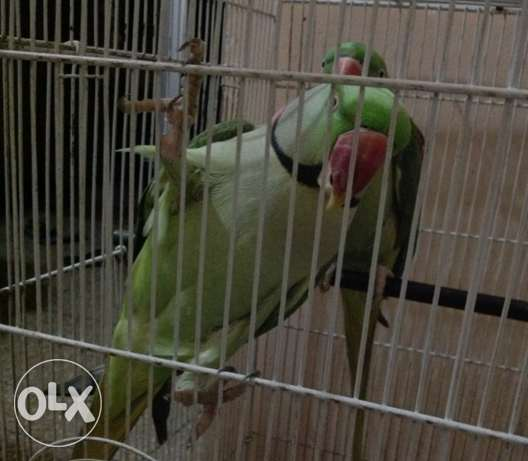 Pair Of Talking Ring Neck Parrot