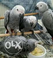 Talking African grey parrots with more than 64 vocabularies already