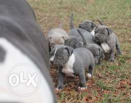 Cute American Pitbull Terrier Puppies for sale