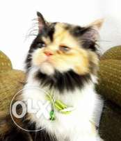 I want to sale my pure shirazi peke face 2months old 650 SR