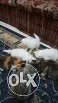 7weeks old Persian kittens for sale (1000 SAR/ each