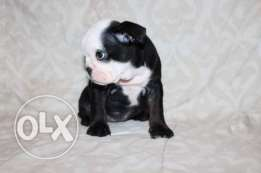 9 weeks Old puppy for adoption now