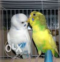 Love birds available for sale