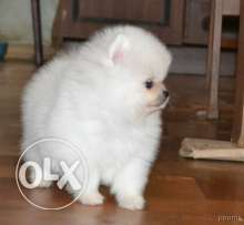 Extremely beautiful Pomeranian
