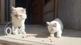 Cats for free adoption, Persian Male and American Female