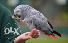 Gorgeous Hand Reared And Super Tame African Grey Parrots