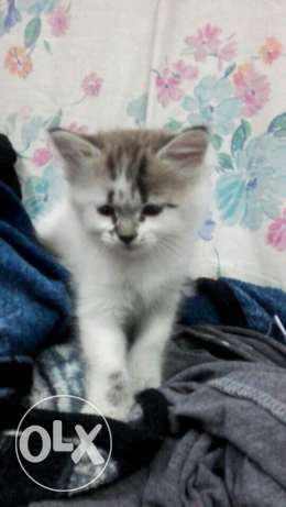 Percian mix kitten for sale.! الرياض -  1