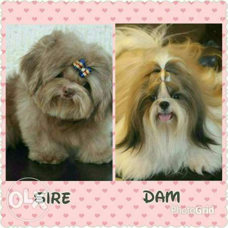 Shih Tzu Male Puppy الرياض -  8