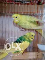 Budgies breeding pairs for sale