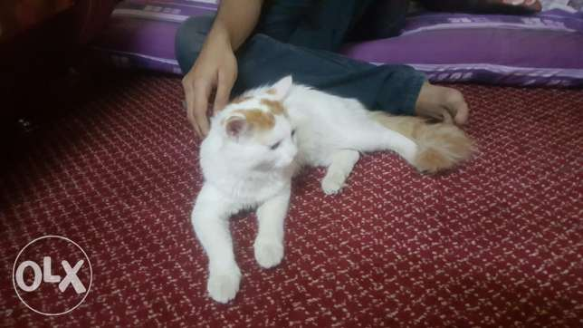 cat for sell very play full