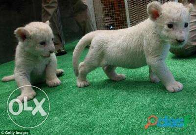 White Cute Lion and Tiger cubs available