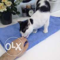 free cat no money need adopttion with delivery