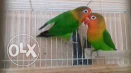Breeding pairs of fischer love birds available