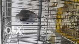 Its an African grey Age 2 years know different languages very smart and frank