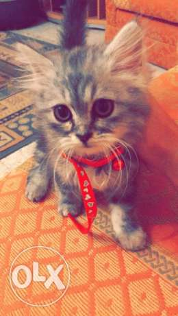 Shirazi Cat for sale