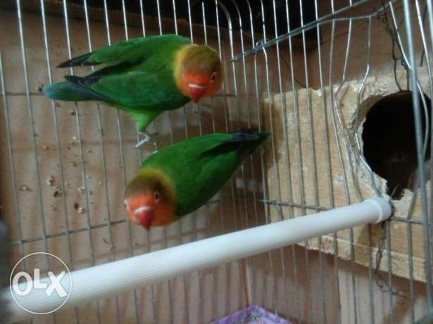 Fischer love birds breeding pair with eggs only 375 SR