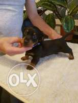 Pra clear miniature dachshund boy and girl puppy for sale