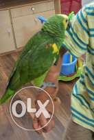 Talking Amazon Parrot for Sale