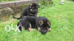 Pedigree German Shepard pups for sale