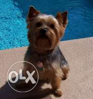 6 months old mini Yorkie for sale
