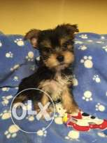 5 fantastic Yorkie Puppies