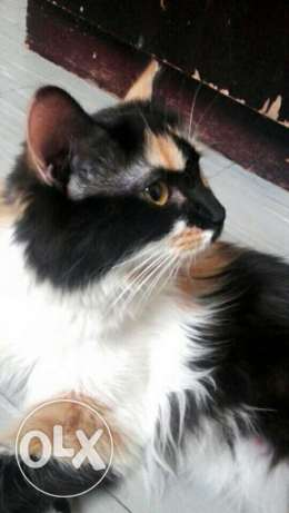 Female cat availabe for sale الرياض -  1