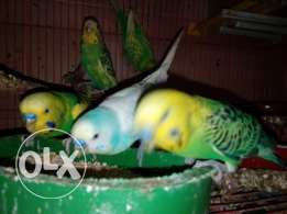 Fischer and Budgies are avialable for Sale