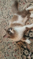 قطه هملايا cat for sale