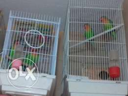 beautiful lovebirds breeding pairs at very good price + special offer