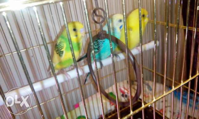 3 birds with cage for sale