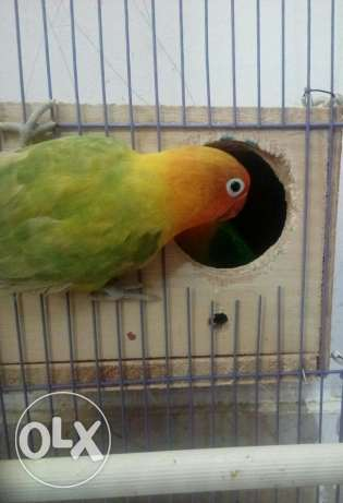 Lovebirds breeding pair only 250