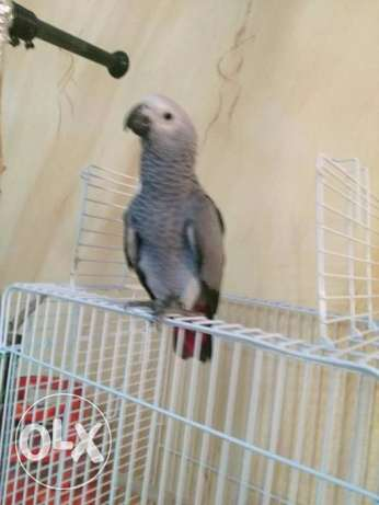 Holland Gray Parrot 3 moths lovely baby with cage and cerelec 2200sr