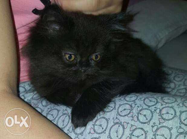 ShirazI kitten for sale الرياض -  1