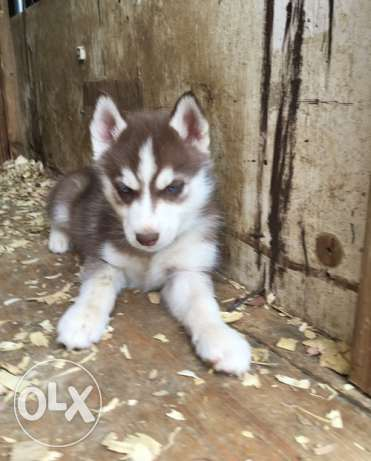 Siberian Husky For Sale Asap