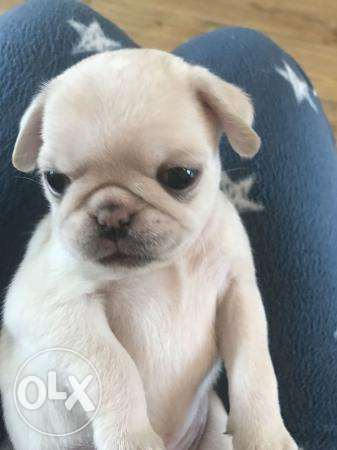 Beautiful KC white pug puppies for adoption البدائع -  4