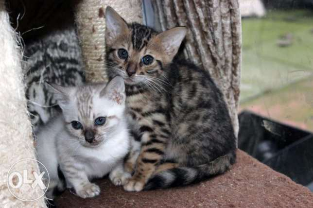 CFA Chikala Male and Female Tag Brown Bengals Kittens Ready الخرج -  1