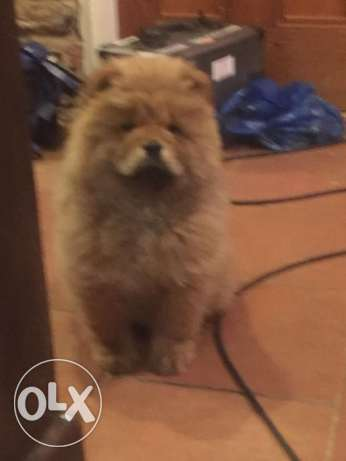 Chow chow pure bred pups