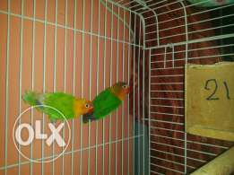 Beautifull birds 400 riyal contact in whatsapp