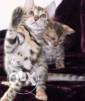 Pure Bred Bengal Kittens Ready Now