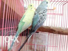 Lovebirds for urgent sale