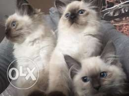 Quality Seal Colour Point Ragdoll Kittens
