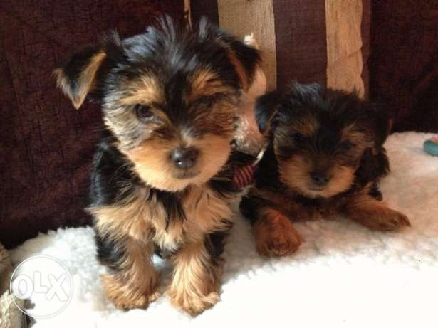 Yorkshire terrier puppies for new homes شرورة -  2