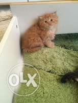 American long hair Kittens for sale