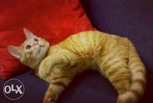 Adorable cat boy for sale. الرياض -  2