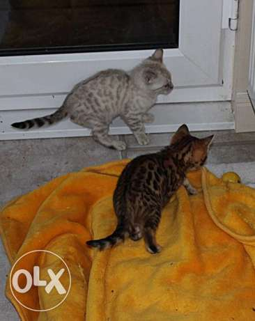 CFA Chikala Male and Female Tag Brown Bengals Kittens Ready الخرج -  2